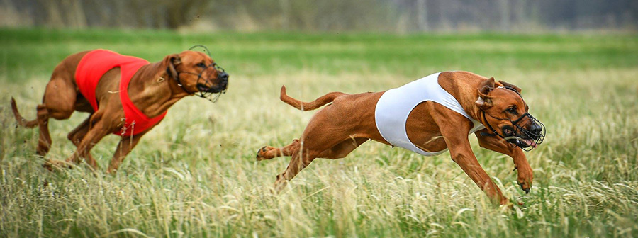 Lure Coursing CACL competition 12.05.2019